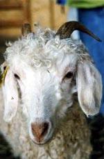 [Image: v-goat.jpg]